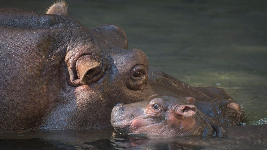 baby hippo at animal kingdom
