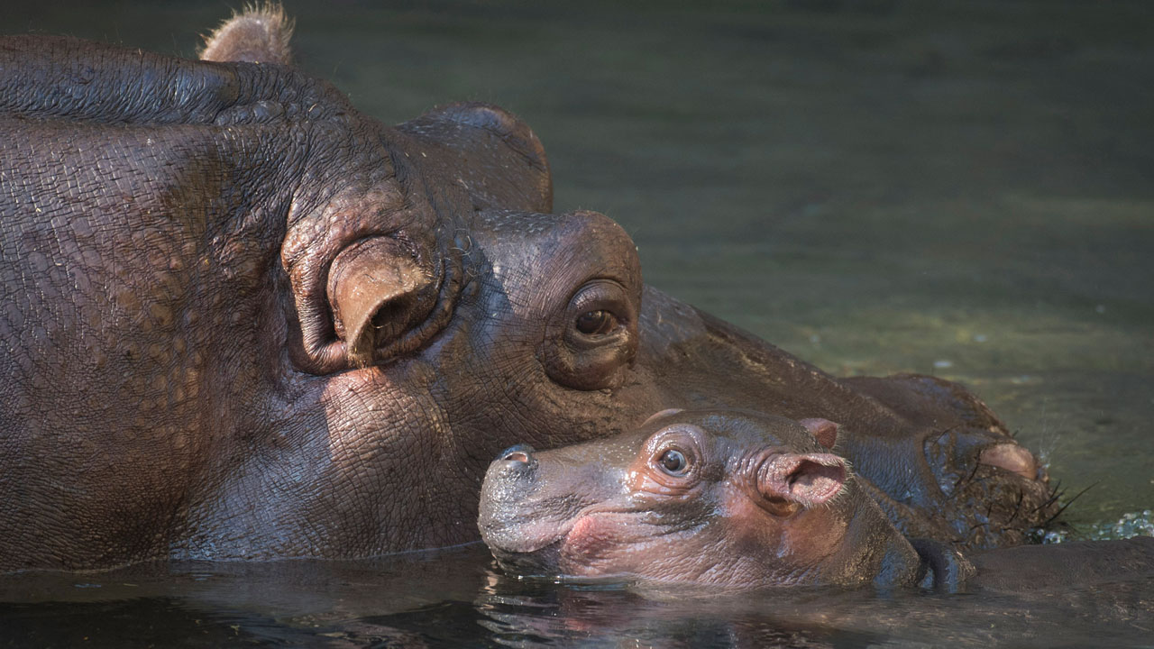 baby hippo at animal kingdom
