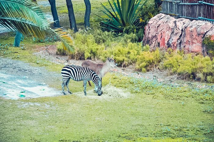 zebra at animal kingdom lodge
