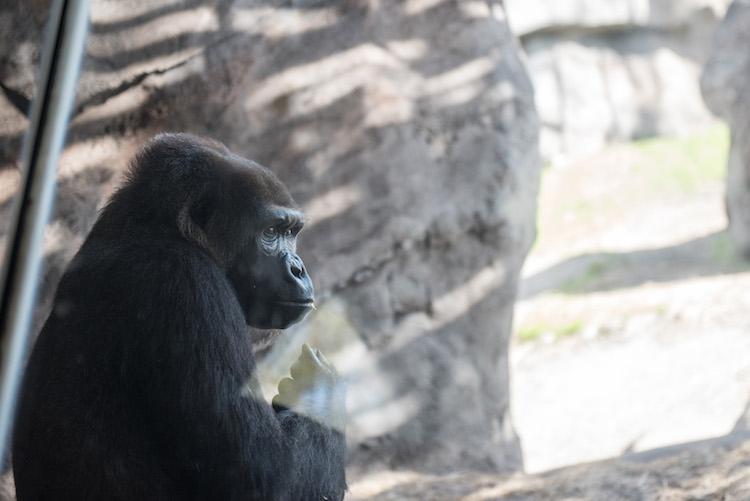 Apes at Animal Kingdom