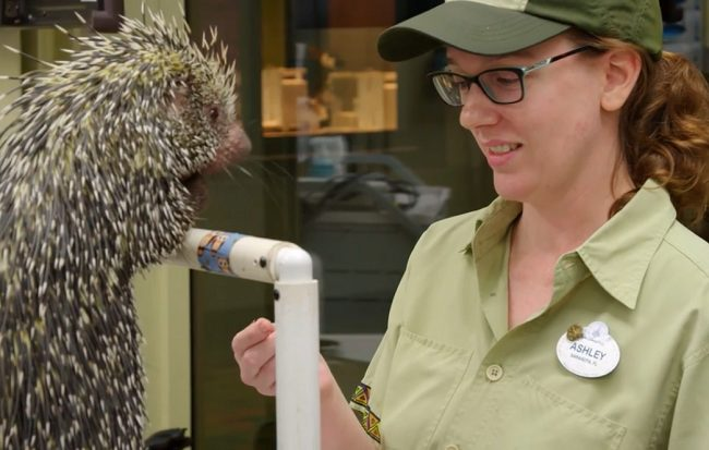 Animal Kingdom Porcupine Peri