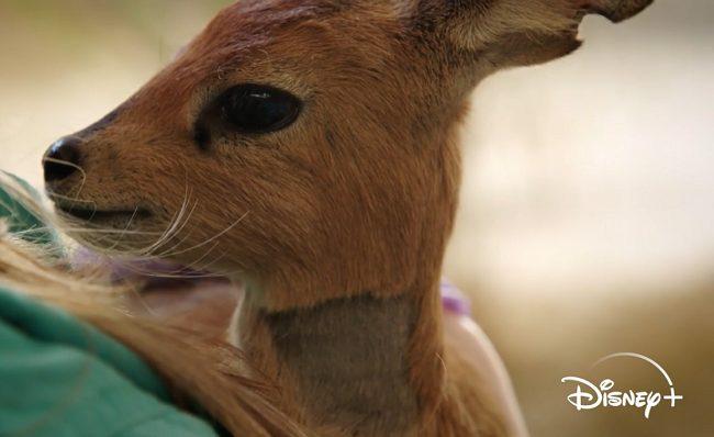 baby stark steenbock animal kingdom