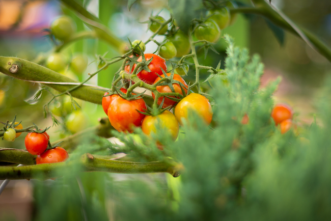 world record tomatoes at disney