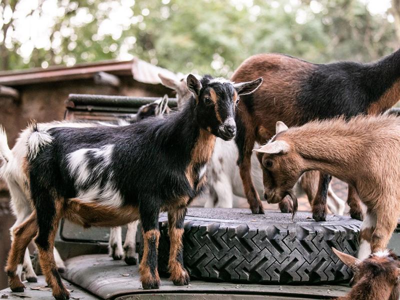 Animal Kingdom Welcomes Nigerian Dwarf Goats
