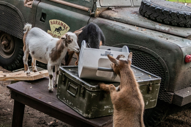 Nigerian Dwarf Goats playing with each other at the Animal Kingdom