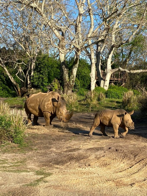 rhinos kendi and ranger on kilimanjaro safaris at animal kingdom