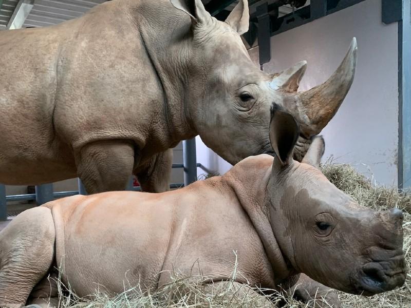 baby rhino ranger at animal kingdom