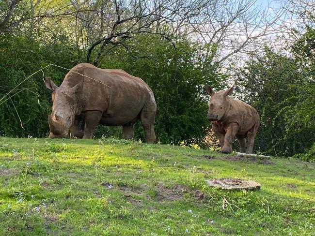 baby rhino ranger and mom kendi on kilimanjaro safaris at animal kingdom