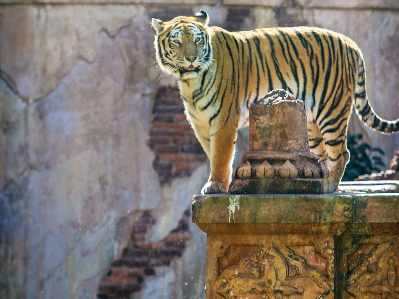 A proud Tiger stands atop a ledge at the Maharajah Jungle Trek at Disney's Animal Kingdom