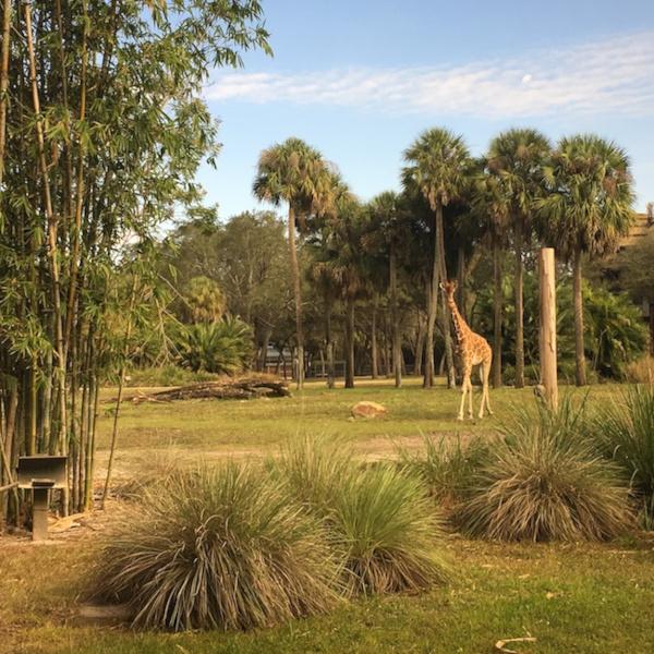 Giraffes visible from Sanaa at the Animal Kingdom Lodge