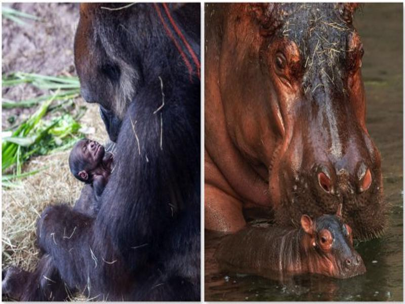 new-baby-gorilla-and-baby-hippo-at-disneys-animal-kingdom-featured_disney-parks-blog