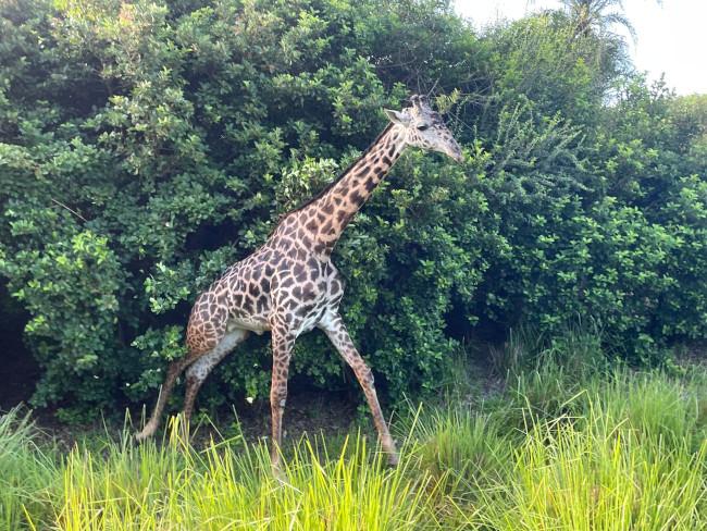 giraffe_what-does-disney-world-look-like_moore
